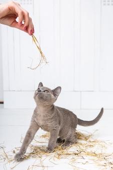 O gato brincalhão na palha em um assoalho de madeira branco salta, caças, está em seus pés traseiros.
