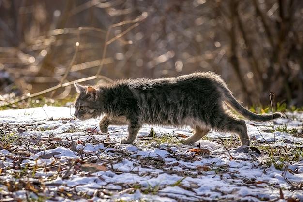 O gato caminha com cuidado na grama coberta de neve do jardim