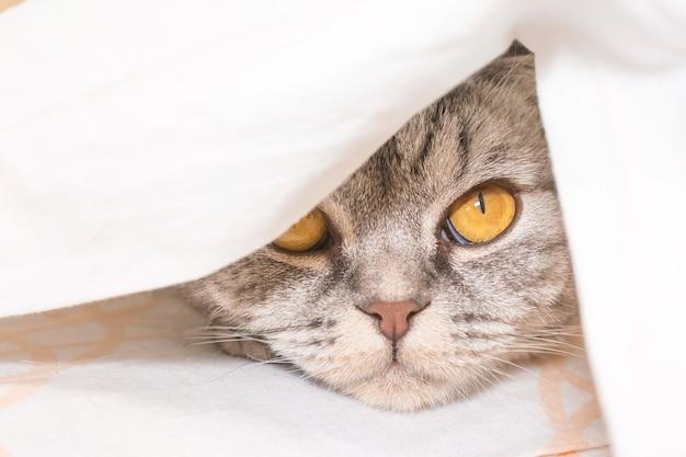O gato cinza scottish fold cinza em uma faixa preta com olhos amarelos deitado em uma cama