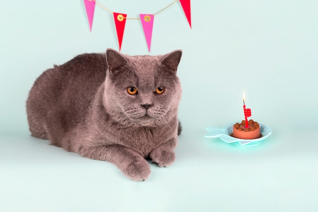 O gato cinzento britânico sopra a vela no bolo na luz de fundo. aniversário cat party
