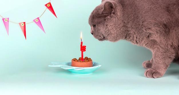 O gato cinzento da raça britânica apaga a vela no bolo na luz - fundo azul. aniversário cat party