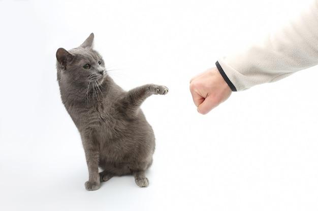 O gato cinzento é protegido pela pata estendida com as garras da mão do homem