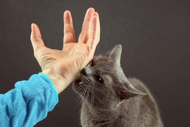 O gato cinzento morde agressivamente a mão de um homem.