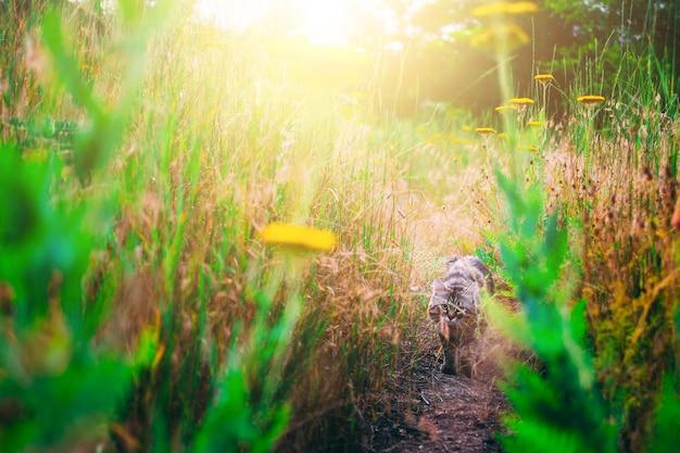 O gato cinzento nas flores. caças de gato na grama flores de leão na flor amarela prado