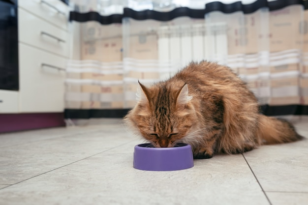 O gato come da tigela. o gato norueguês da floresta come comida no chão de seus pratos