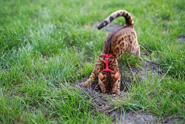 O gato de bengala cava um buraco no gramado. andando com um gato em um arnês