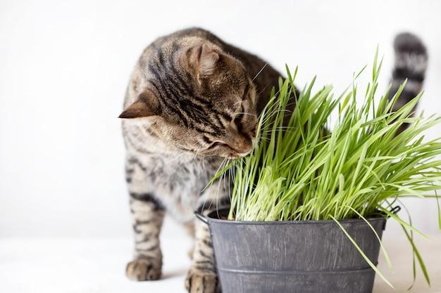 O gato de gato malhado come a grama verde fresca. grama de gato. alimento útil para animais