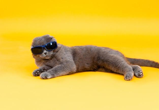O gato de orelhas caídas scottish fold em óculos de sol encontra-se sobre um fundo amarelo. foto de estúdio.
