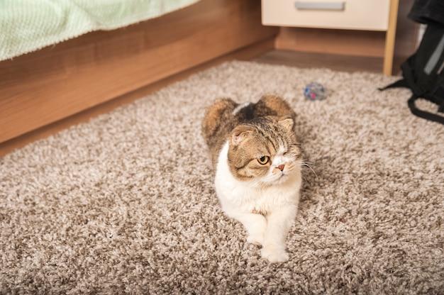 O gato dorme em casa em um tapete cinza. o retrato do close up de um gato doméstico da dobra do scottish.
