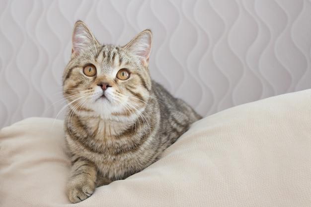 O gato encontra-se em um travesseiro, conceito bonito do gato