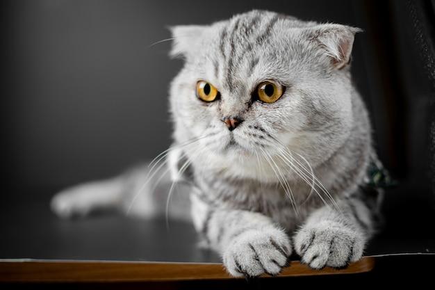 O gato escocês da dobra é agachamento na tabela.
