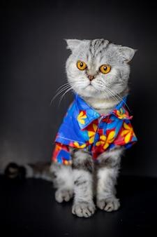 O gato escocês da dobra é camisa floral do desgaste