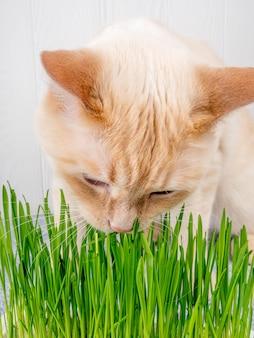 O gato está comendo a grama verde fresca. grama do gato, grama do animal de estimação. natural hairball tratamento, branco, vermelho gato de estimação comer grama fresca, aveia verde, emocionalmente, cópia espaço, o conceito da saúde dos animais de estimação