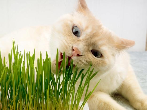 O gato está comendo a grama verde fresca. grama do gato, grama do animal de estimação. tratamento natural de bolas de pêlo.