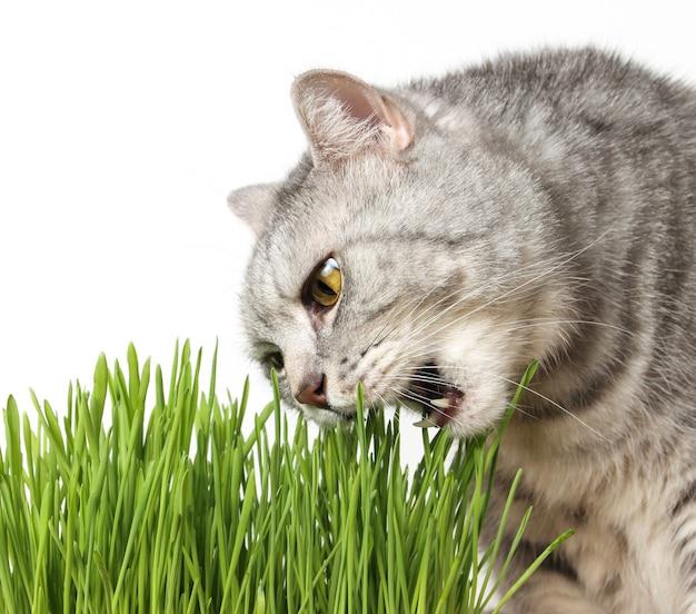 O gato está comendo grama isolada no fundo branco. o gato com a boca aberta morde a grama