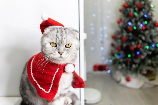 O gato está usando chapéu de papai noel. no contexto da árvore de natal. a dobra escocesa puro-sangue parece engraçada.