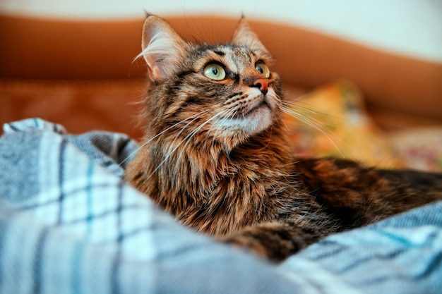 O gato fofo desvia o olhar e se deita em um cobertor macio. olhos verdes grandes e bigode comprido. um animal de estimação.