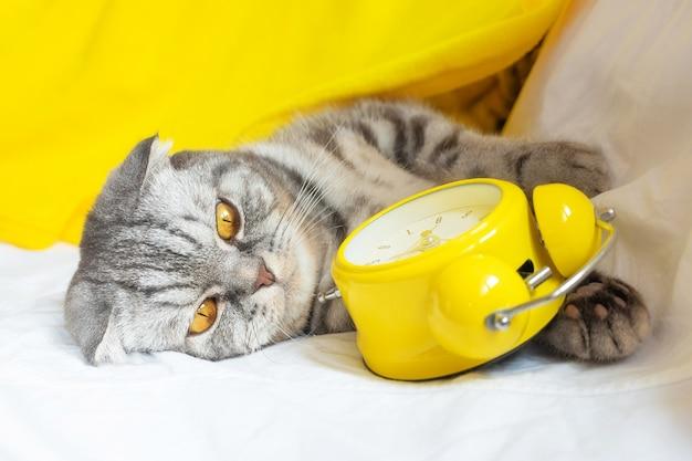 O gato listrado cinza e preto com listras escocesas fica no sofá, nas patas há um despertador amarelo.