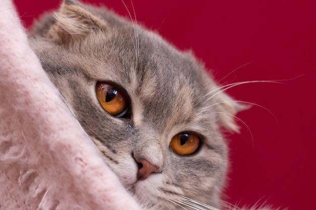 O gato malhado clássico scottish fold está olhando para a câmera com a cara enrugada