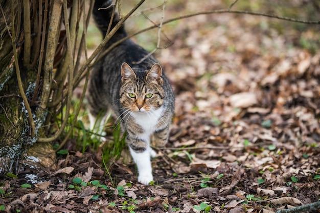O gato malhado de março de primavera vai ou anda sobre folhas secas. vida na natureza.