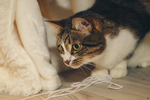O gato mente e olha em volta. focinho close-up