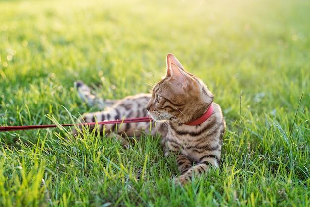 O gato na coleira anda na rua ao pôr do sol