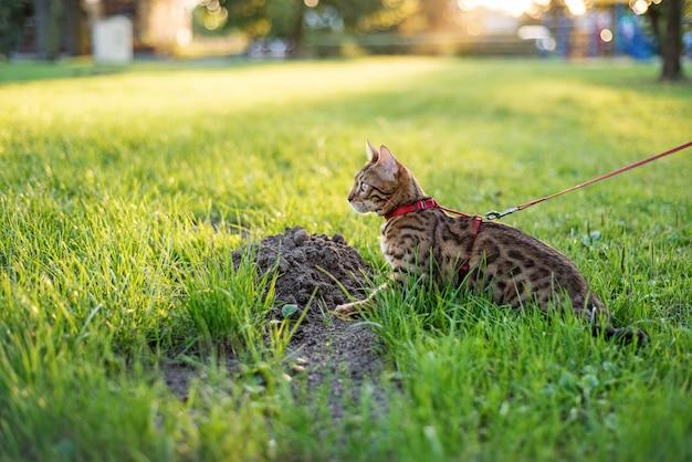 O gato na coleira anda na rua ao pôr do sol.