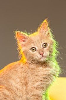 O gato na parede cinza com luzes de neon