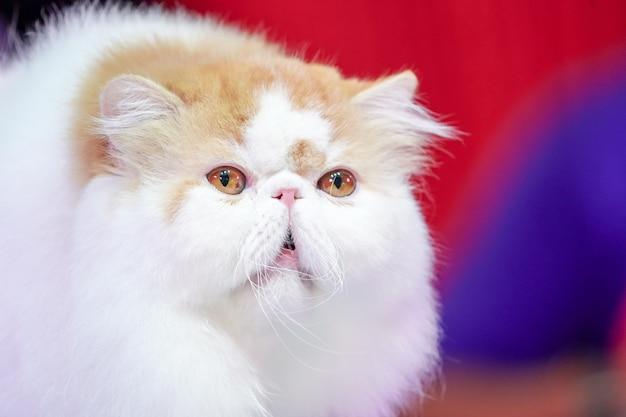 O gato persa com pelo laranja e branco com olhos amarelos e cabelo médio.