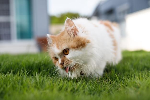 O gato persa fofo está comendo ervas em um campo de grama verde, para animais de estimação naturais, médicos e orgânicos, foco seletivo, profundidade de campo