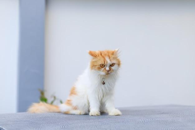 O gato persa fofo sentado na mesa