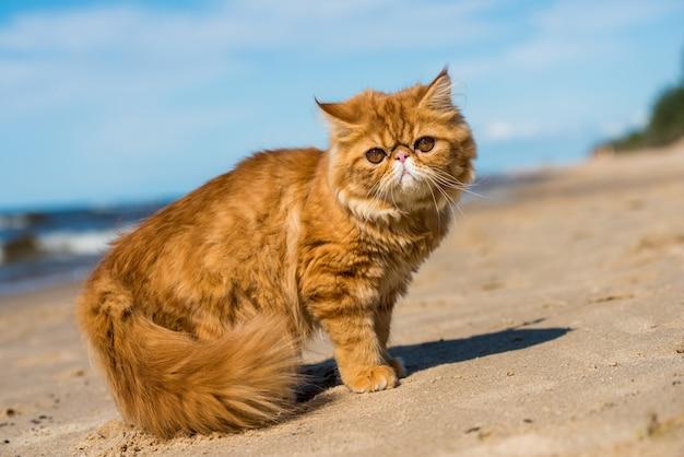 O gato persa vermelho está sentado na praia do mar báltico