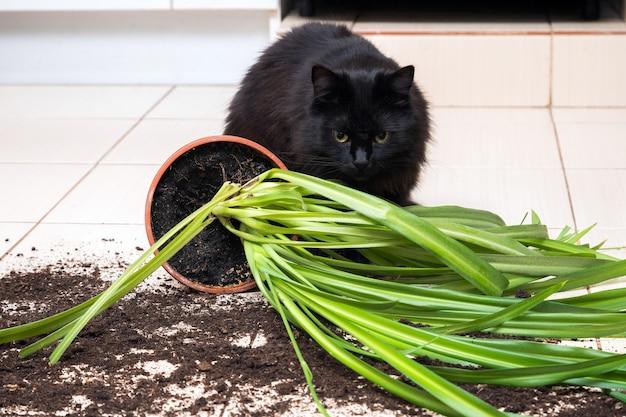 O gato preto caiu e quebrou o vaso de flores com planta verde no chão da cozinha