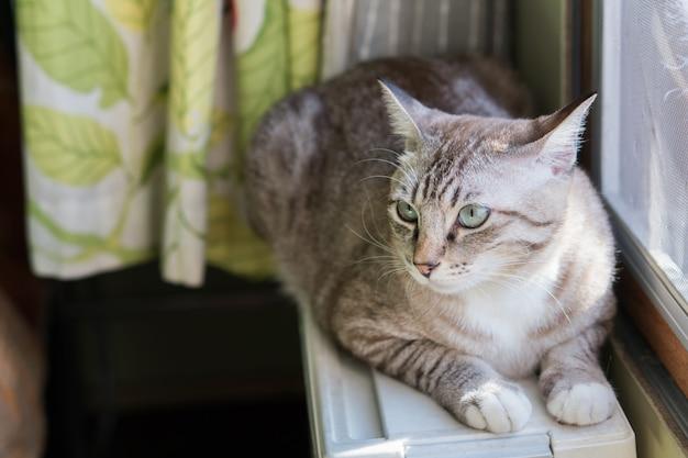 O gato que vive perto da janela.
