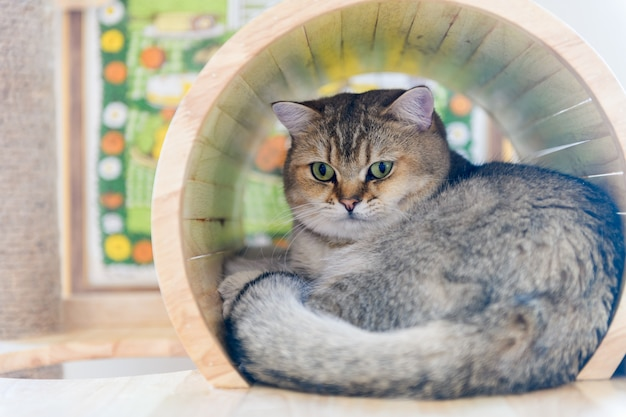 O gato reto escocês marrom bonito dorme na casa,