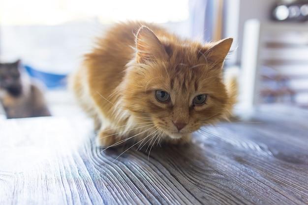 O gato ruivo assustado sentado em uma mesa em um apartamento na cidade