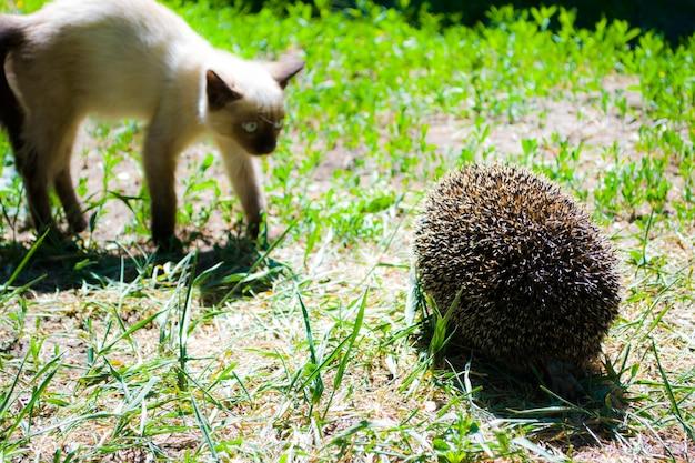 O gato siamês encontrou acidentalmente um ouriço uma pose de luta de um gato uma reação engraçada de um gato a um sebe ...