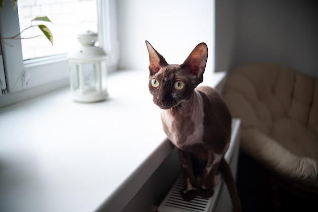 O gato sphynx senta-se na bateria perto da janela e aquece