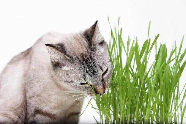 O gato tailandês come grama. alimentos para gatos e vitaminas.