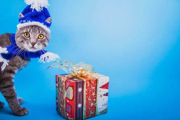 O gato tigrado cinzento veste o chapéu de santa no fundo azul pela caixa de presente.