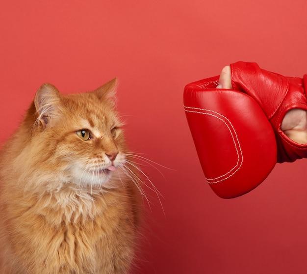 O gato vermelho adulto luta com uma luva de boxe vermelha