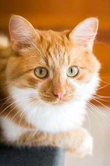 O gato vermelho, casa acolhedor do gato do gengibre e relaxa o conceito, o gato pequeno bonito do vermelho ou do gengibre.