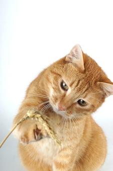 O gato vermelho é jogado com um talo de trigo em um fundo branco.
