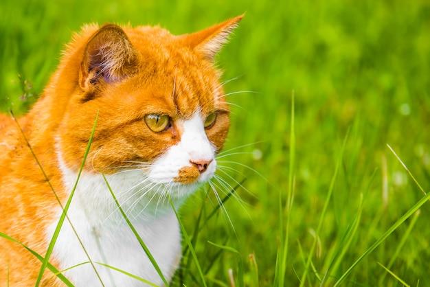 O gato vermelho está sentado na grama verde na primavera, jardim de verão. retrato em close-up de perfil