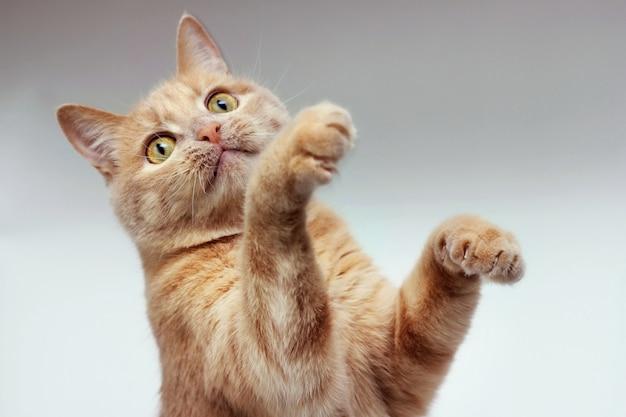 O gato vermelho levantou as duas patas da frente.