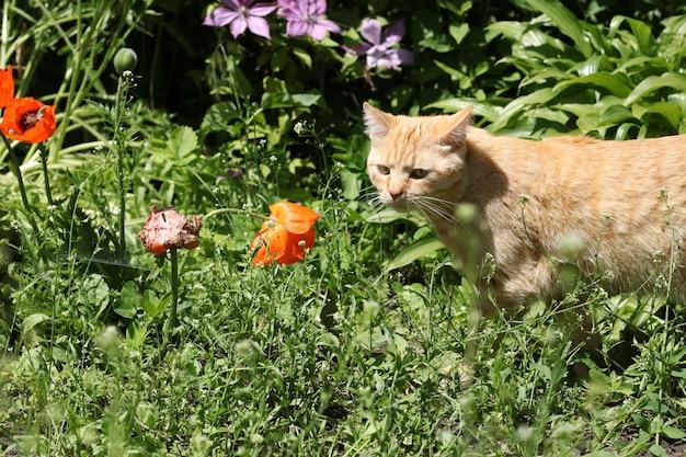 O gato vermelho olha para o lado e foge nos arbustos do jardim, closeup