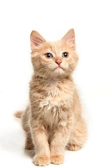 O gato vermelho ou branco eu no estúdio branco