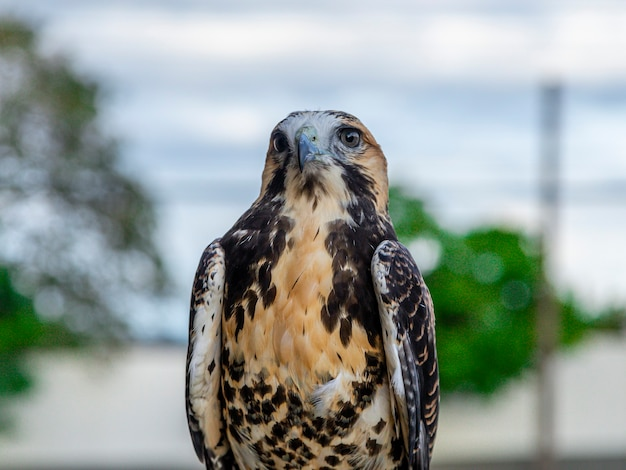 O gavião (geranoaetus albicaudatus) é uma grande ave de rapina encontrada em ambientes tropicais ou subtropicais nas américas.