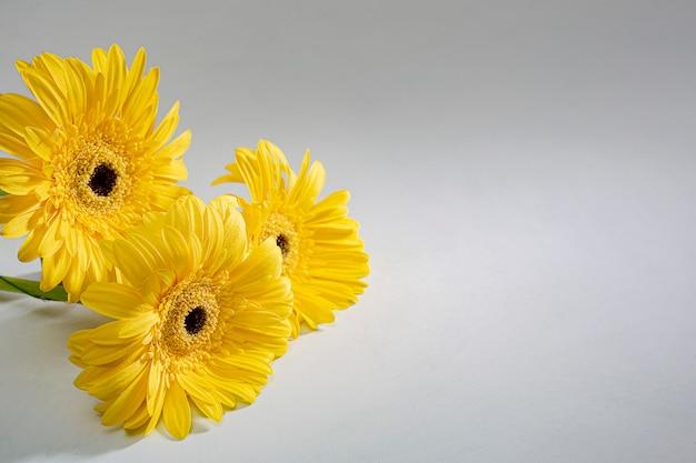 O gerbera amarelo da margarida floresce no fundo branco. close-up com lugar para texto.