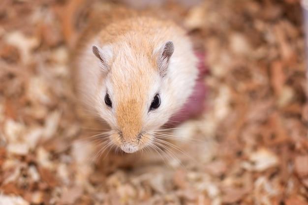 O gerbil mongol de uma coloração de um aguta deu a luz a pequenos ratos